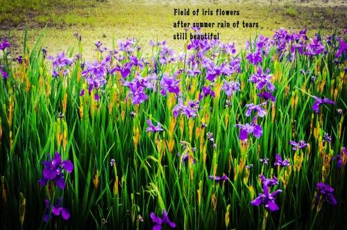 Iris Field_edited_edited_edited