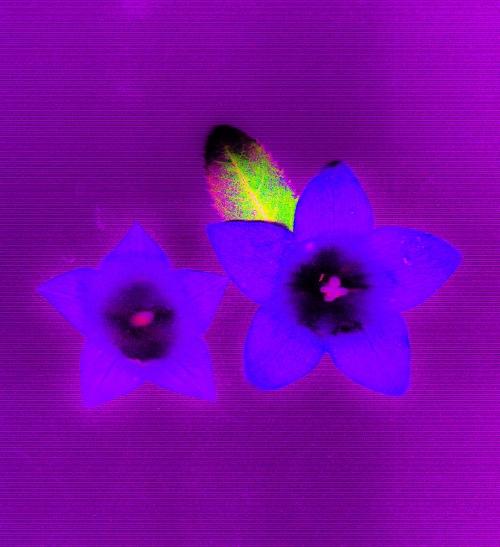 kikjo-flower